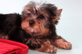 Small doggie. — Stock Photo