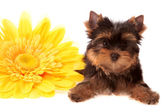 Puppy about a yellow flower, isolated. — Stock Photo