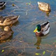 Ducks — Stockfoto