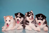 Puppies of husky — Stock Photo