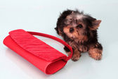 Small doggie with a female handbag. — Stock Photo