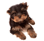 Yorkshire Terrier , isolated. — Stock Photo