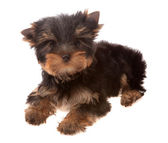 Yorkshire Terrier. — Stock Photo