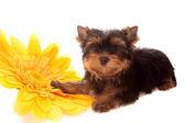 Köpek izole sarı bir çiçek hakkında. — Stok fotoğraf