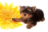 Puppy about a yellow flower , isolated. — Stock Photo
