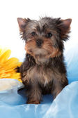 Puppy about a yellow flower. — Stock Photo
