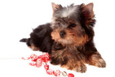 Yorkshire Terrier, isolated. — Stock Photo