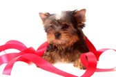 Small dog about red tapes, isolated. — Stock Photo
