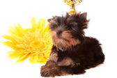Puppy about a yellow flower,isolated — Stock Photo