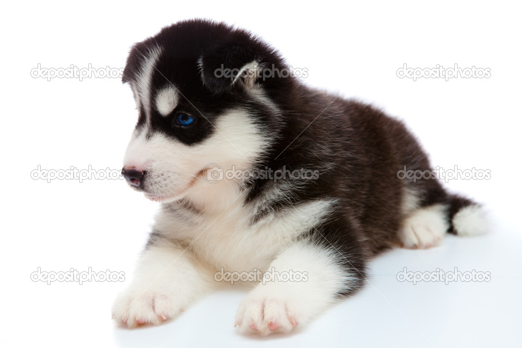 Puppy a husky on a white background is isolated. — Stock Photo #10182679