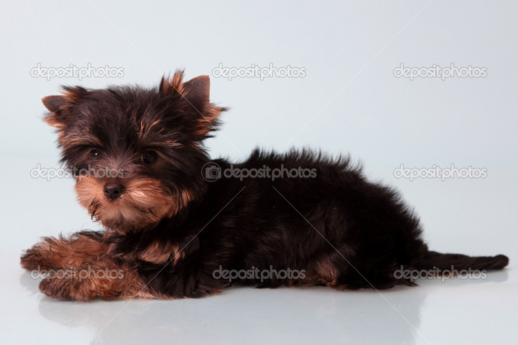 Little dog, Yorkshire Terrier,On a blue background. — Stock Photo #10183011