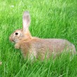 Brown rabbit. - 图库照片