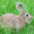 Rabbit walks on a grass. - 图库照片