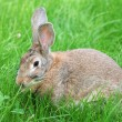 Brown rabbit on grass - Foto de Stock