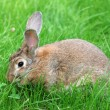 Rabbit on grass. - 图库照片