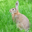 Rabbit - Foto de Stock