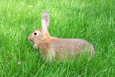 Brown rabbit. — Stock Photo