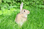Rabbit on green grass. — Stock Photo