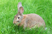 Brown rabbit on grass — Foto Stock
