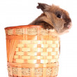 Small rabbit in basket, isolated. — Stock Photo #10203111