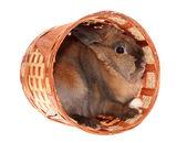 Kleine konijn in mand. — Stockfoto