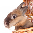 Small rabbit in basket. — Stock Photo #10461580