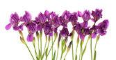 Irises, isolated. — Stock Photo