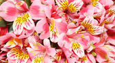 Background from pink flowers. — Stock Photo