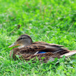 Duck on grass. — Foto Stock