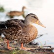 Wild duck. — Stock Photo #10494472