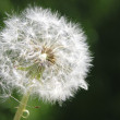 Dandelion — Stock Photo #9361511