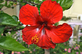 Flower hibiscus — Stockfoto
