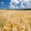 Wheaten field — Stock Photo #9462753
