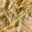 Wheaten field — Stock Photo #9463404