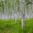 The birch of a forest. - Stock Photo