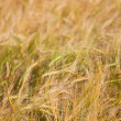 Wheaten field — Stock Photo #9467176