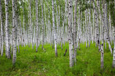 The birch of a forest. — Stock Photo