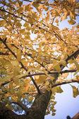 Ginkgo Leaf — Stock Photo
