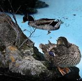 El emplazamiento de pato por el río al aire libre. — Foto de Stock