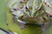 The frog in the water outside. — Stock Photo