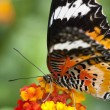 Butterfly — Stock Photo #9652852