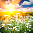Field of the daisies in the sunshine outdoor with the blue sky background. — Stock Photo