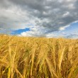 Wheaten field — Stock Photo #9657109