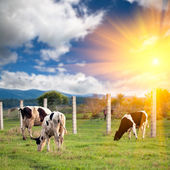Cow in the farm with sunset background outdoor. — Stock Photo