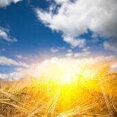Sunlight to the wheat — Stock Photo