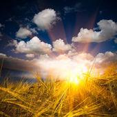 Sonnenlicht auf den weizen — Stockfoto