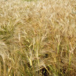 Wheaten field — Stock Photo #9660883