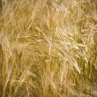 Wheaten field — Stock Photo #9661229