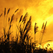 Stock Photo: Reed stalks in swamp against sunlight.