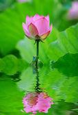 Lotus flower — 图库照片
